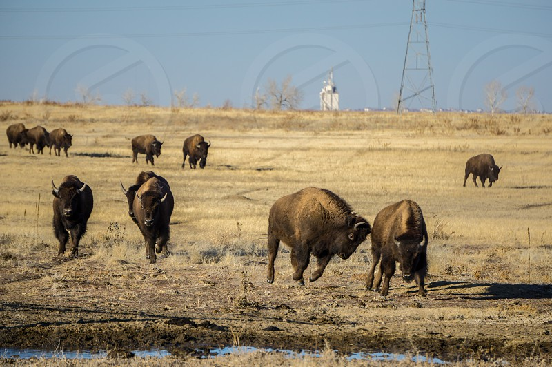 The bison herd at Rocky Mountain Arsenal Wildlife Refuge.  Denver Colorado. photo