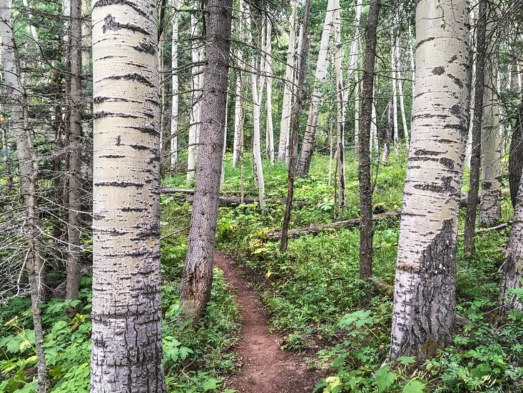 Aspen forest with dirt trail photo