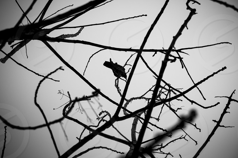 Crow on tree branches. photo