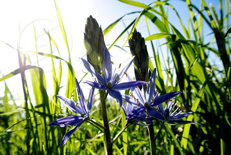 Some wild lavender.  photo