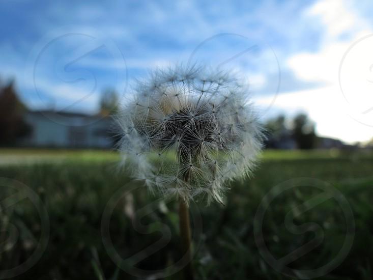 dandelion and field photo