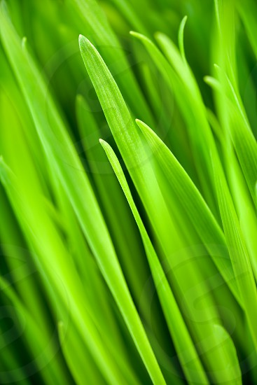 Fresh wheatgrass up close and in shallow depth of field to create an organic green background. photo