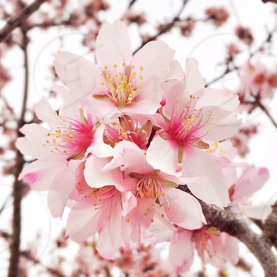 Macro of pink almond tree flowers photo