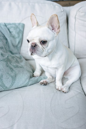 Cute french bulldog sitting on couch like a human. photo
