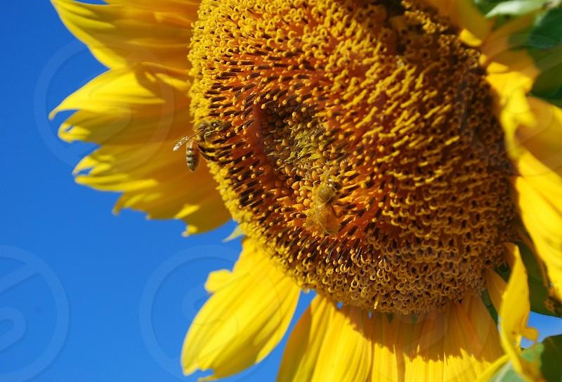 The vibrant sunflower is the official state flower of Kansas. Photo taken in September 2014. photo