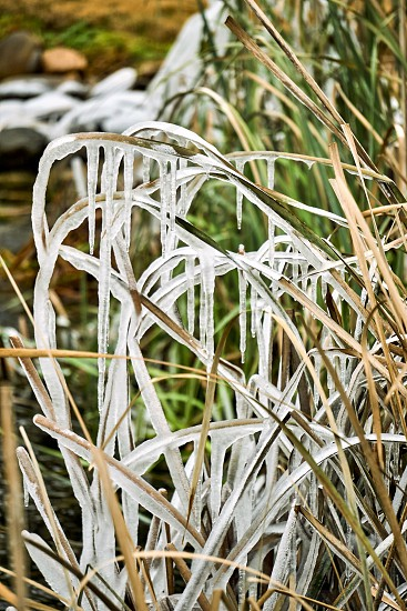 Frozen icicles on cat tails around a pond.                           photo