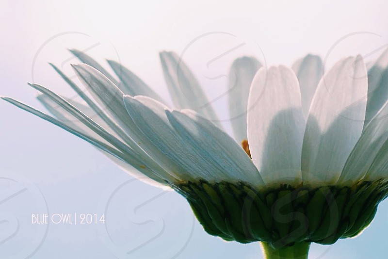 """Daisy in the sky""               VSCO filter C1.                Full resolution image without watermark available via Email photo"