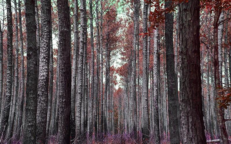 Croatan Forest NC photo