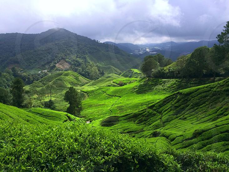 Farming tea plantation green landscape shapes valley hills daylight travel tourism destination highlands Cameron Malaysia  photo