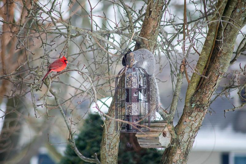 Cardinal bird photo