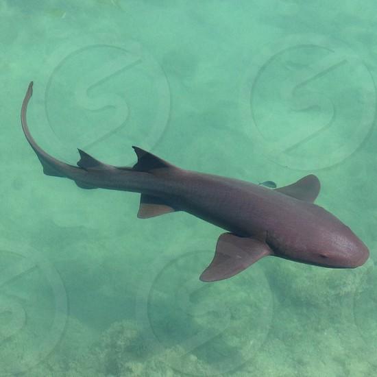 Jamaican bull shark  photo