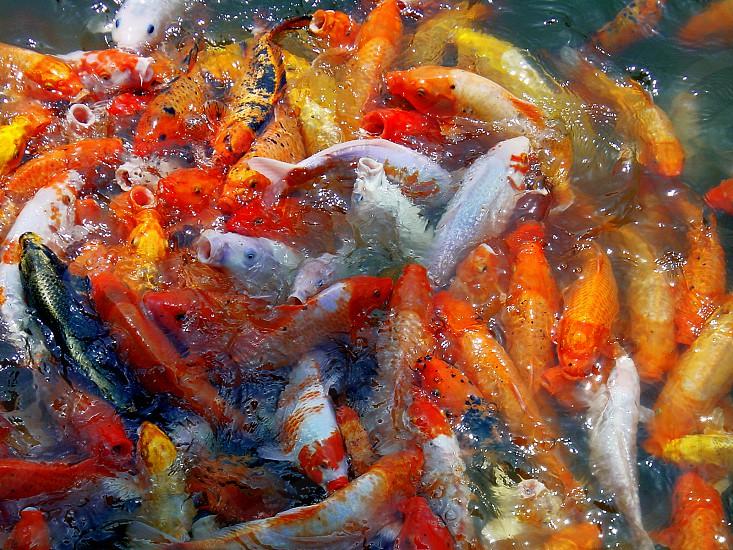 bounch of goldfishes splashing on the wather                             photo