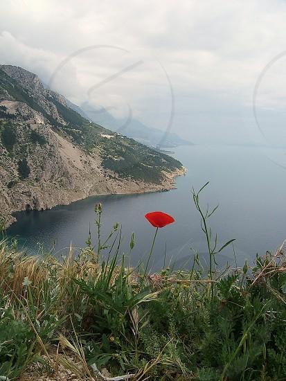 Solitary poppy Croatia photo