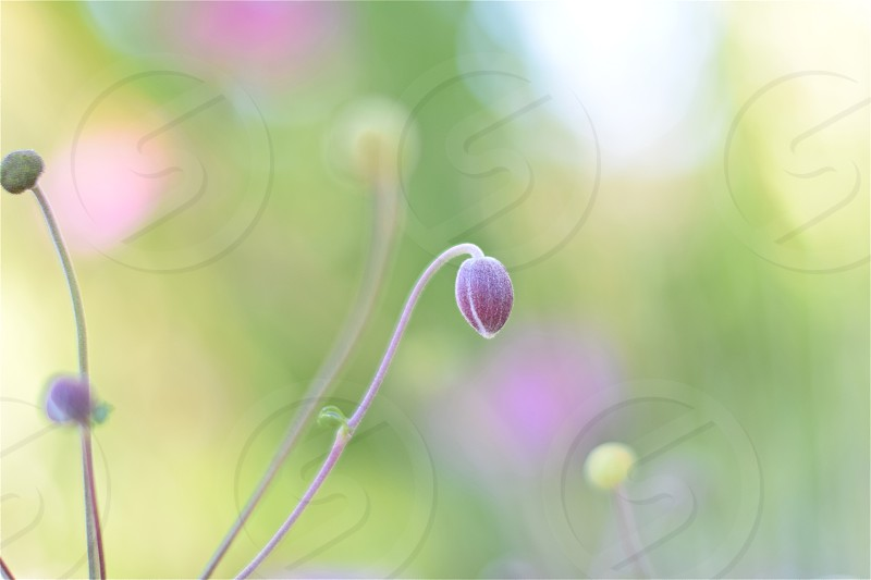 Welcome to Fantasy World. by Anemone Hupehensis. Flower Fantasy Pastel Delicate Dream photo
