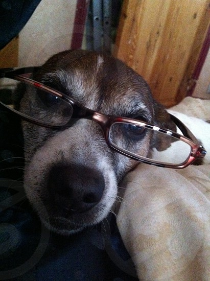 Glasses cute dog Jack Russell  photo