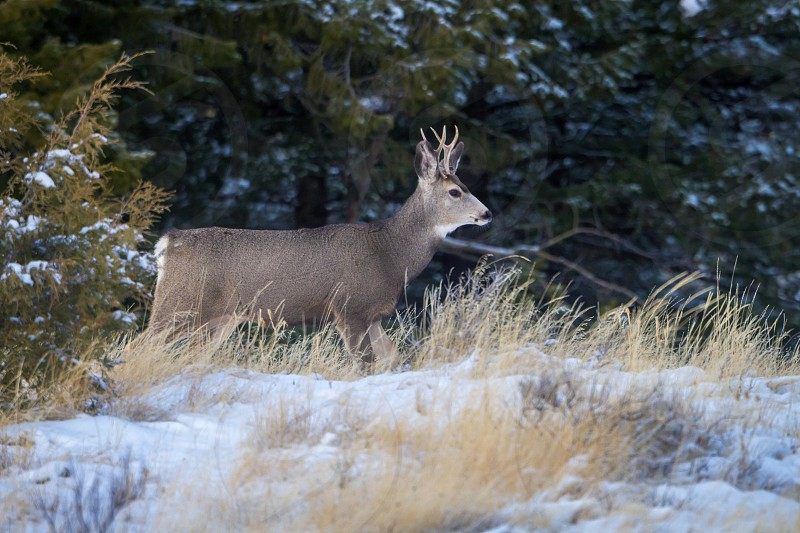 A young mule deer buck photo