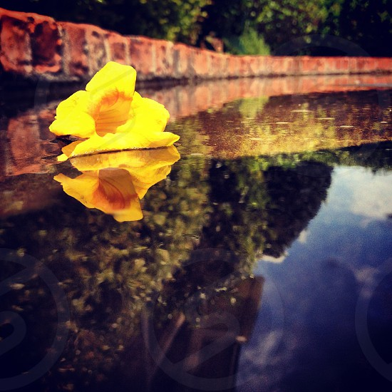 yellow flower floating on the water photo