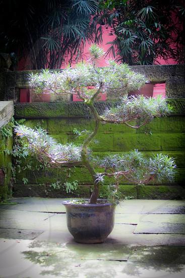 Tree China photo