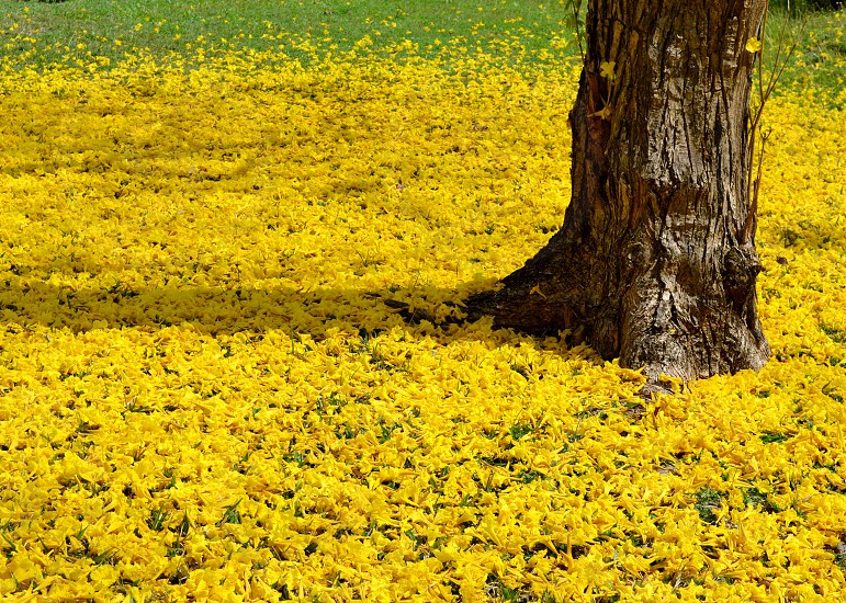 nature yellow petals tree flowers meadow photo
