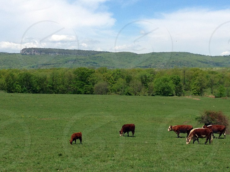 country pasture cows grazing New Paltz NY photo