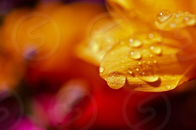Morning dew on flower petals. photo