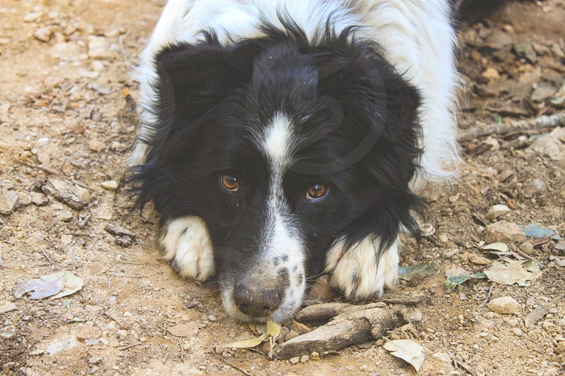 A beautiful dog breed border colly looks at you with sweet eyes. photo