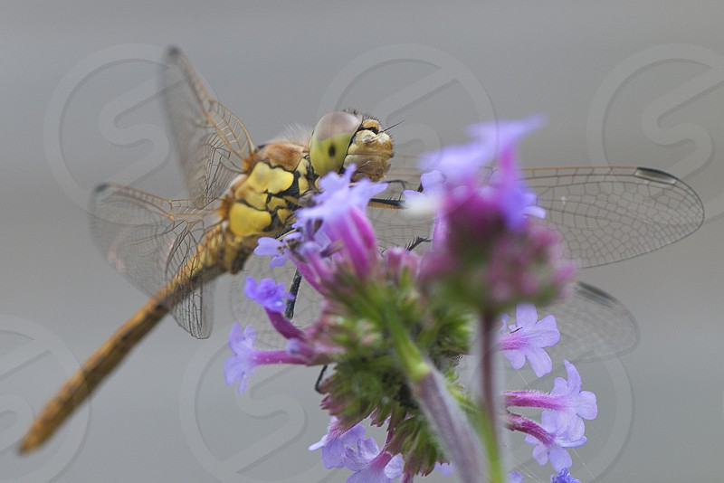 insect macro dragonfly photo
