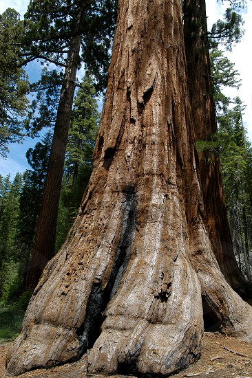 Sequoia tree. Huge. Power. Girth. Old. Enormous. photo