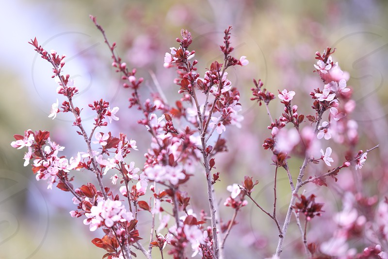 flower pink cherry blossoms blossoms cherry pink pretty blooming floral bokeh nature blur garden gardening Spring April May seasonal season minimalistic minimal minimalism color soft photo