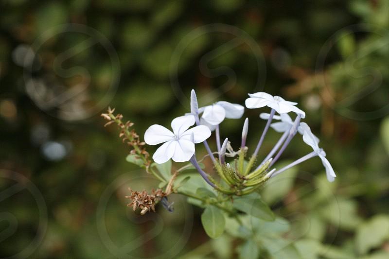 Macro photo of white flowers.  photo