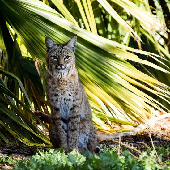Bobcat along a pond in Tucson AZ photo