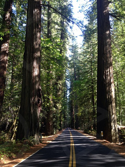 Avenue of the giants.  photo