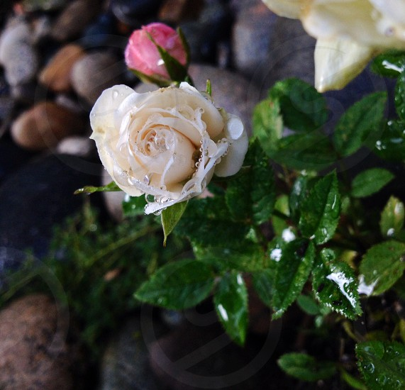 Miniature rose sprinkled with dew in the warm early evening summer sun. photo