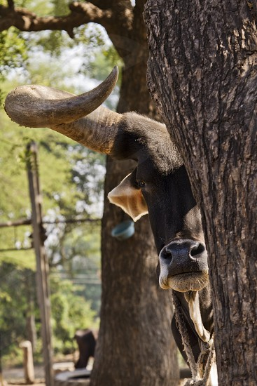 a bull with long horns photo