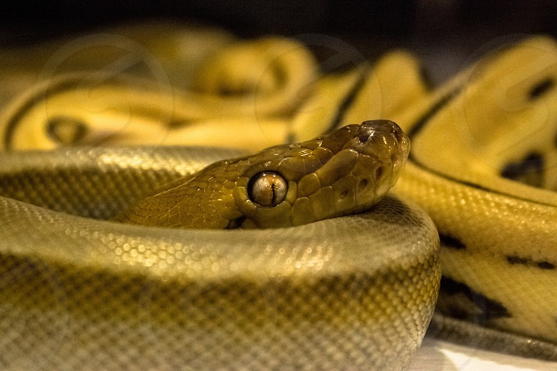 closeup photography of yellow python photo