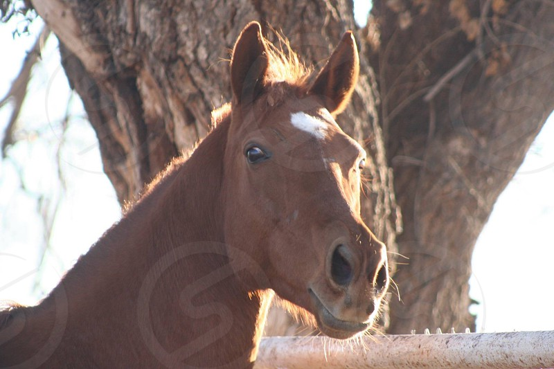 Thoroughbred racehorse farm ranch paddock horse retired chestnut beauty  photo