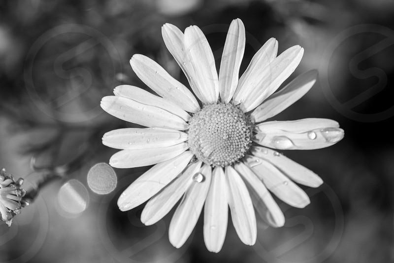 A black and white shot of a dew kissed daisy photo