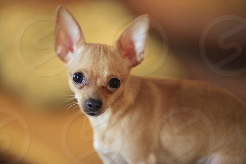 tan short coated puppy photo