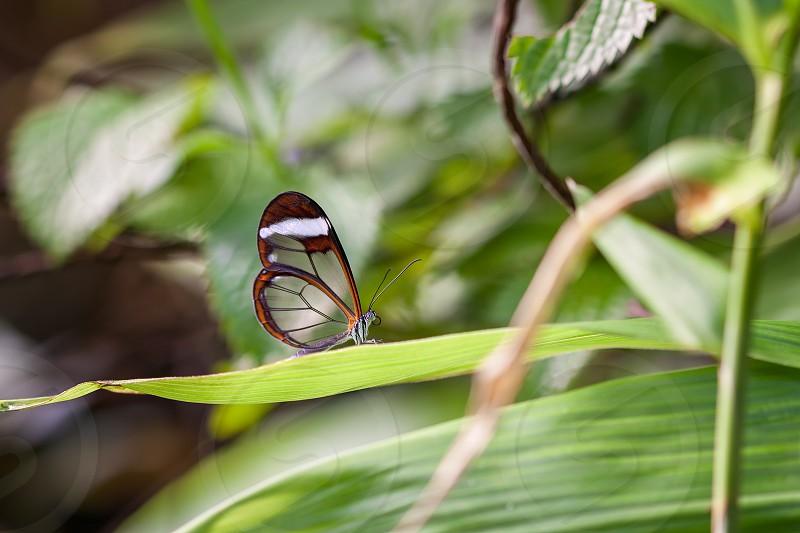 Glasswinged Butterfly (Greta oto) photo