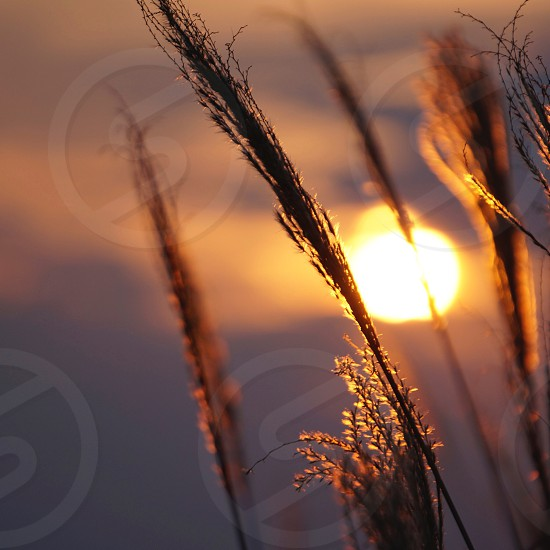 brown wheat field on sunset view photo