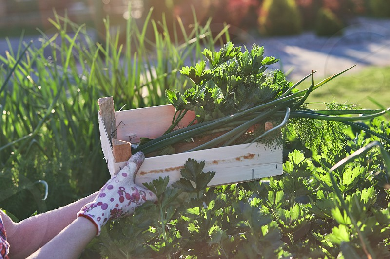 Woman working in a home garden in the backyard picking the vegetables and put to wooden box. Candid people real moments authentic situations photo