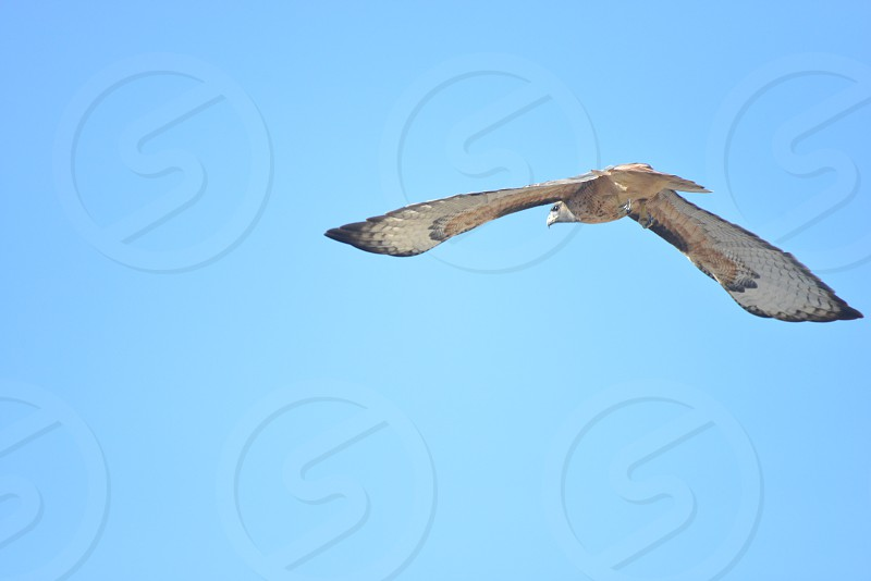 black white and beige bird of prey in flight under clear blue sky during daytime photo