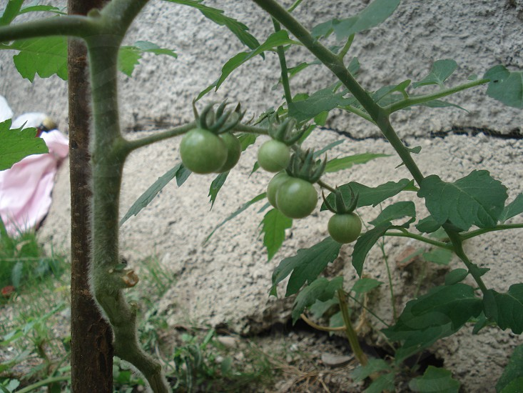 small outside...big inside cherry tomato photo
