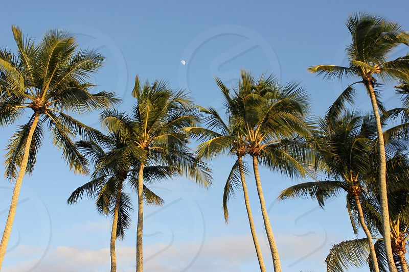 Palm Trees and the Moon. Naples Florida photo