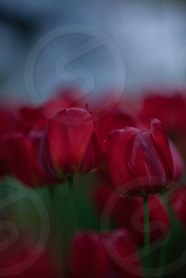 red tulips dusk tulips spring tulips sprint flowers spring  photo