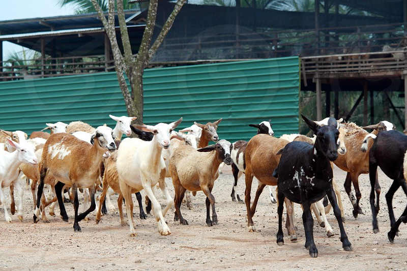 white brown and black goats standing on brown land near green building photo
