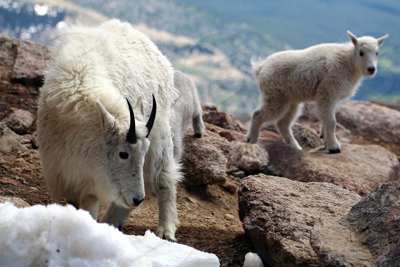 mountain sheep photography photo