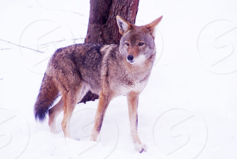 wolf in snow photo