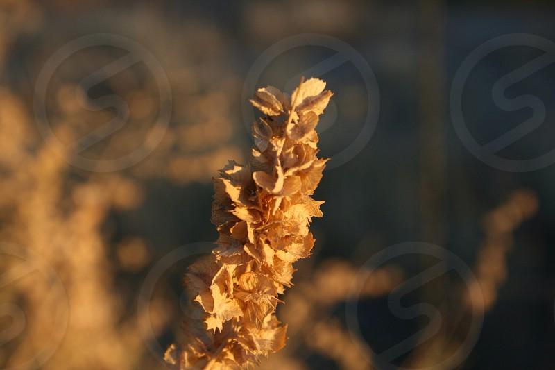 brown wheat grass photo
