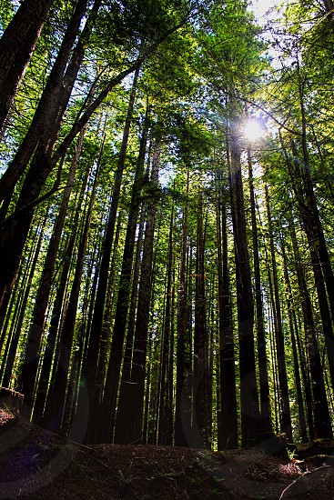 sunlight streams through branches of sequoia trees in a redwood forest photo